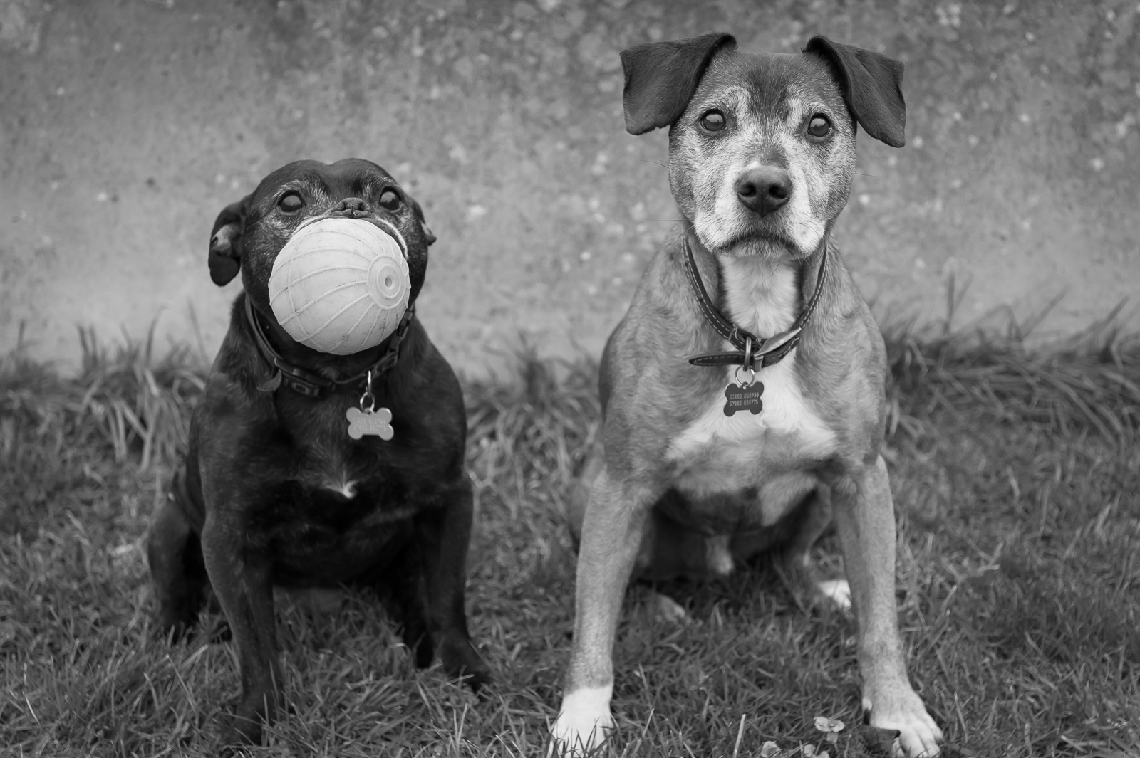 portrait photographer, portrait photography derby, Pet portrait on location: two dogs sitting on the grass, one of them holding a ball in its mouth: Star and Riley